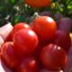 Goda små tomater